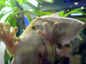 Gecko_Leaftail_1