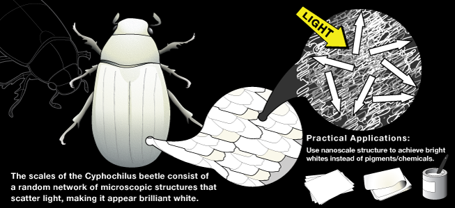 Cyphochilus Beetle Author/Photographer/Artist: Andrea Leggitt Source: The Biomimicry Institute Uploaded: 2009-07-29 19:50:32 Keywords: Cyphochilus Beetle, brilliant white shell, paper white, scattered structures, nanostructures, biobreakdown Simplified rendering of how the random network of microscopic structures within the beetle's shell scatter light, resulting in a stark white appearance. License: CC-by-nc-nd - Attribution Non-commercial No Derivatives